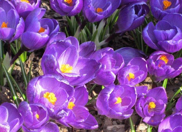 kwiaty krokusy
