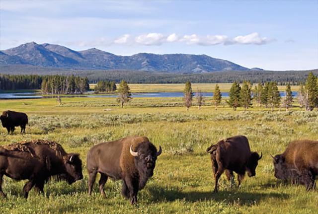 bison www