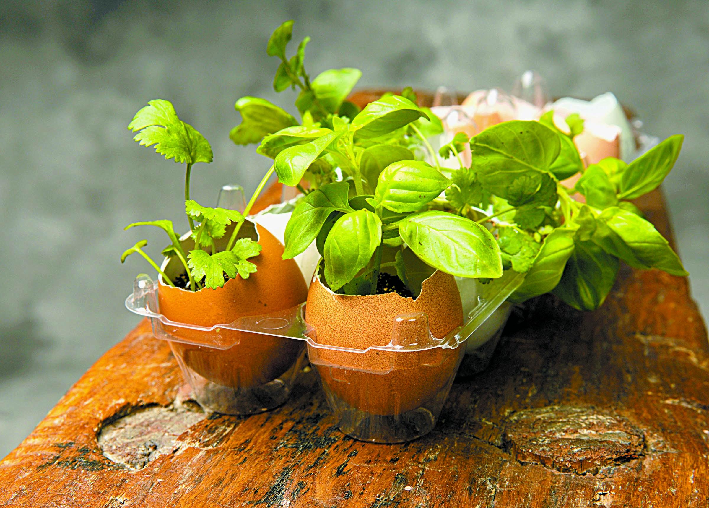 herbs in eggshells
